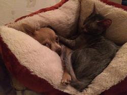 Lykoi et chien