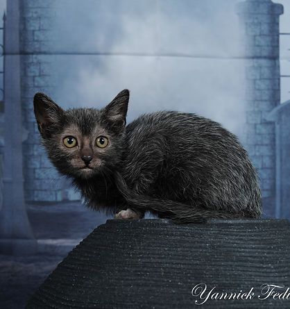 LYKOI CAT werewolf cat