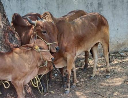 मांजरम वाडी ग्रामस्थांनी गायी चोरून नेणाऱ्या टोळीस रंगेहात पकडून केले पोलिसांच्या हवाली