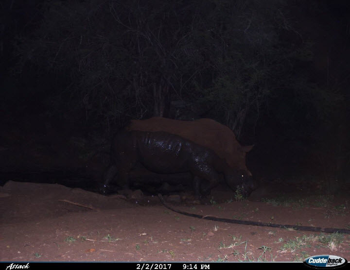Another photo of Hope at a watering hole after a wallow in the mud, this time in the evening
