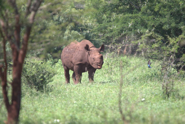 A very cute photo of Maddi in the bush, taken by one of Somkhanda's rhino monitors while out tracking Maddi and her mom