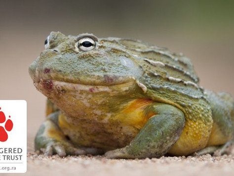 Braking for Bullfrogs