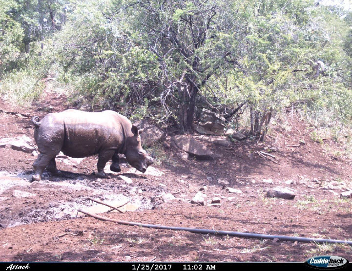 A wonderful photo captured by one of Somkhanda's camera traps of Hope after he enjoyed a mud bath earlier this year