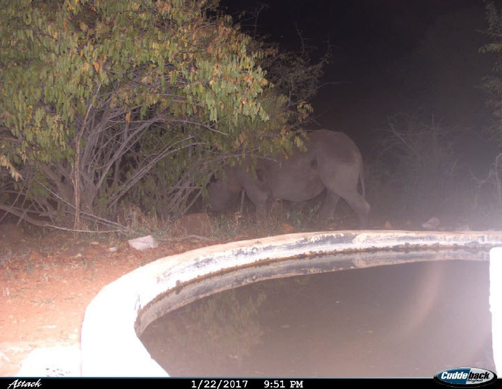 Maddi leaving one of the water holes after an evening drink. .