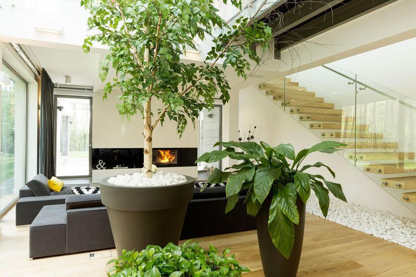 Large pot plants in a home