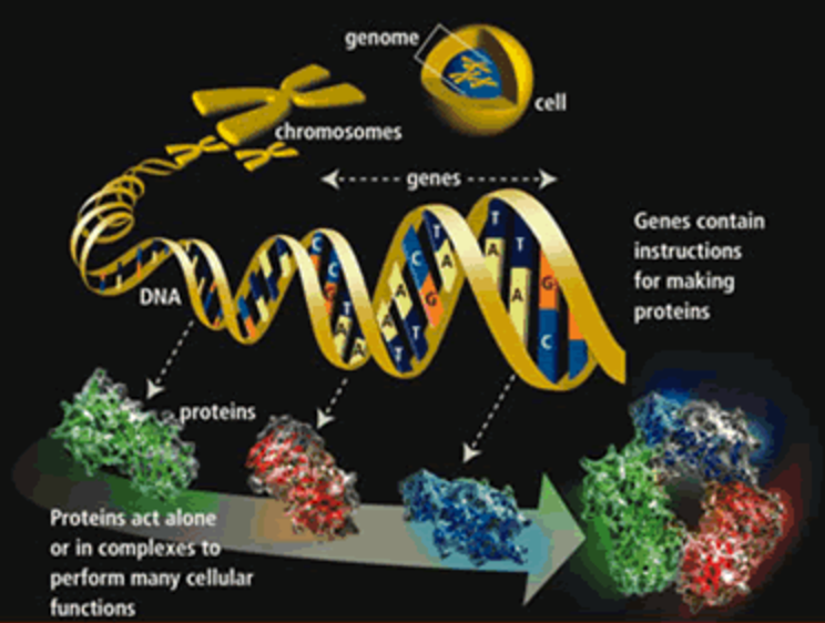 How DNA forms the building blocks of our body