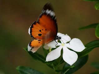 A missão de nascer uma borboleta