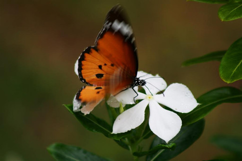 Butterfly from our bush