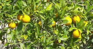 citroenbomen.jpg