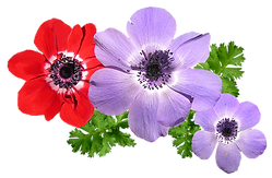 anemone-2793834_1280.png