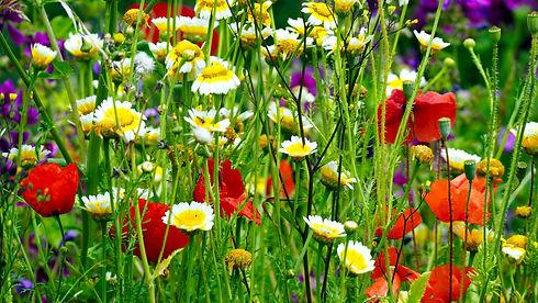 Blühwiese 5.jpg