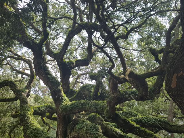 The Angel Oak on Johns Island