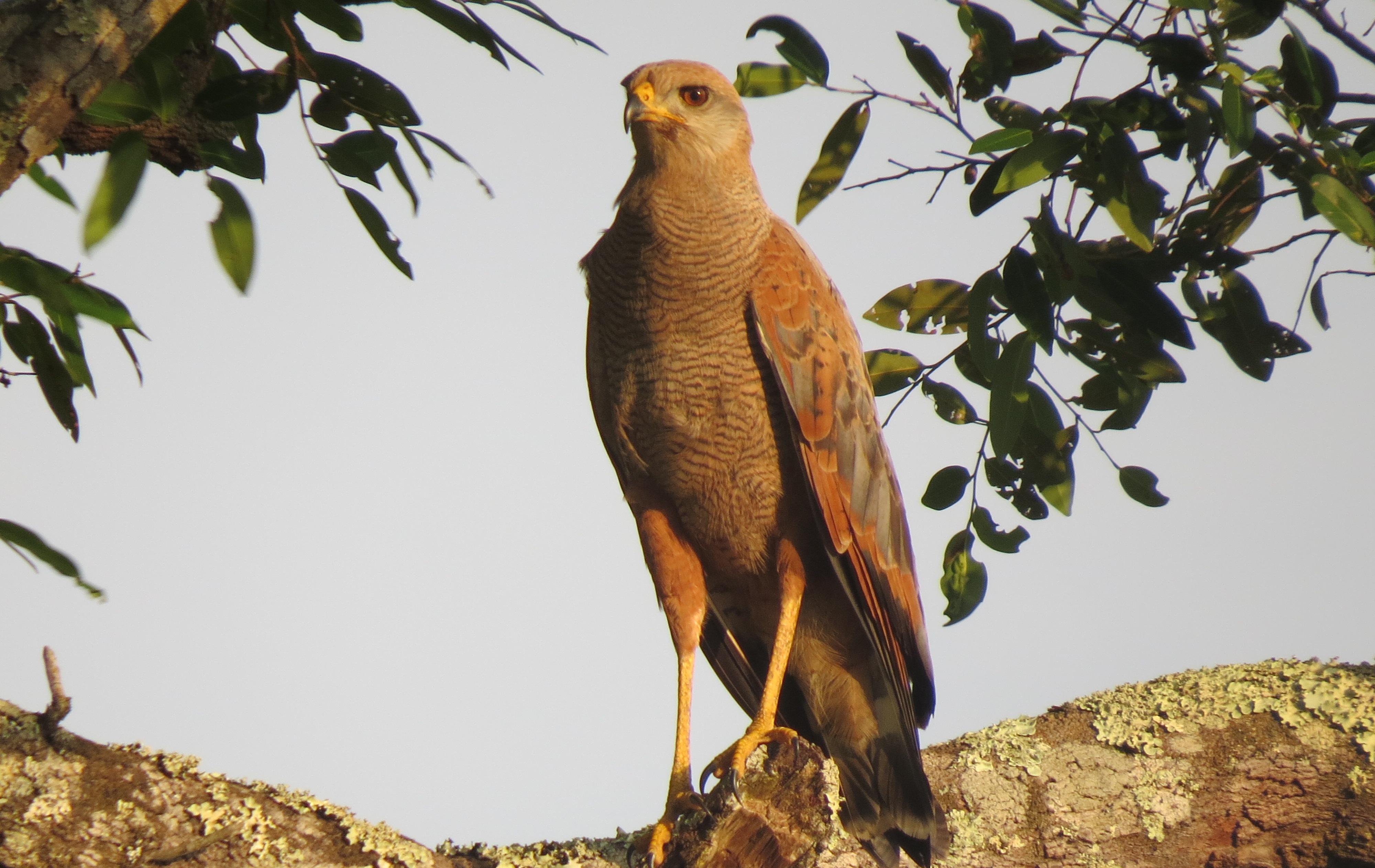 Aguila Colorada