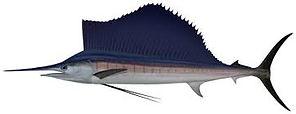 sailfish dundee boat hire