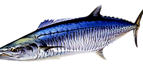 mackerel species dundee boat hire