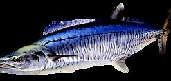mackerel species dundee boat hire