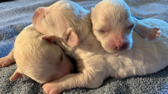 Sophie's Puppies - Two Weeks