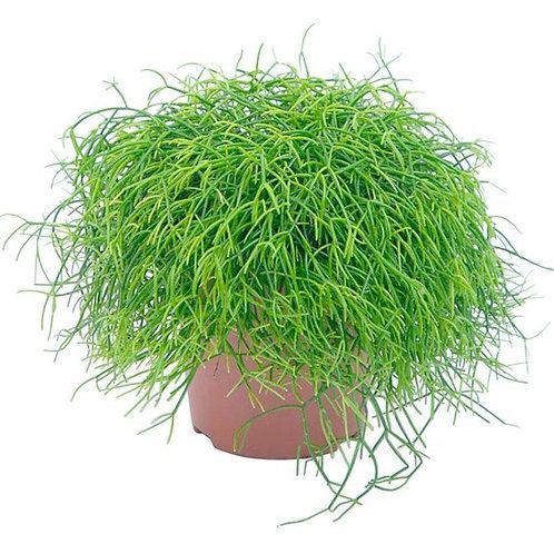 Рипсалис волосовидный