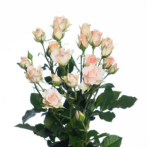 """Роза """"Свит сара""""  (упаковка - 20 шт) - 60 см"""