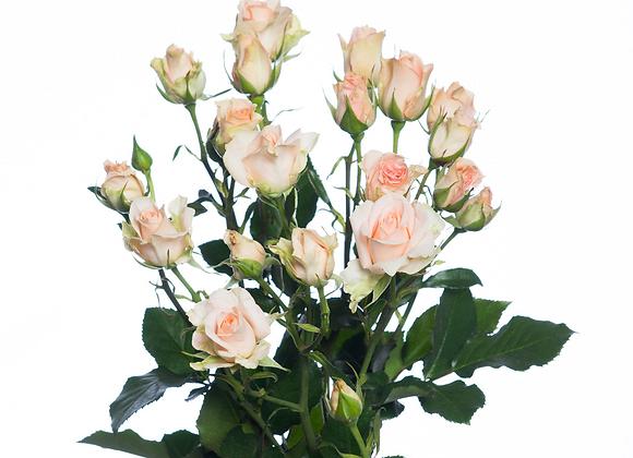 """Роза """"Свит сара""""  (упаковка - 20 шт) - 50 см"""