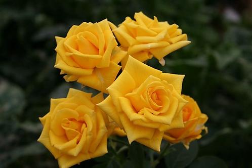 "Роза ""Шайн""  (упаковка - 20 шт) - 60 см"