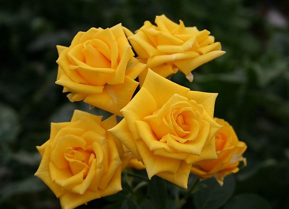 "Роза ""Шайн""  (упаковка - 20 шт) - 50 см"