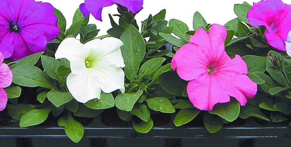 петуния крупно цветковая.jpg