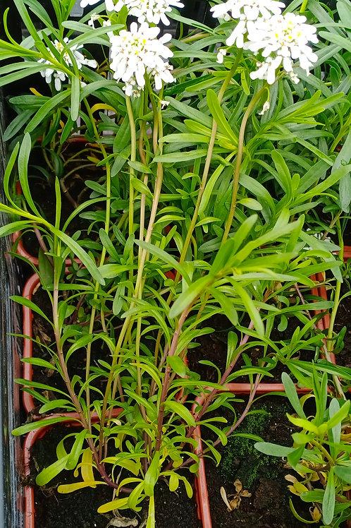 Иберис вечнозеленый v0.3
