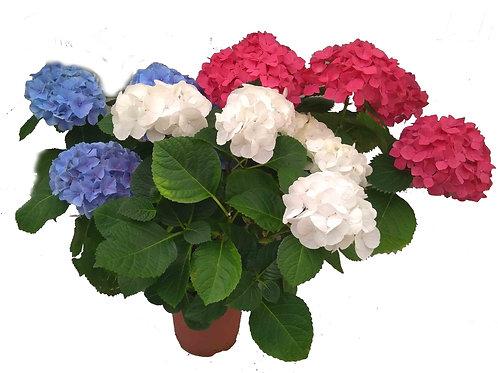 Гортензия  садовая (белая/голубая/розовая)