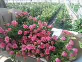 ульяновский совхоз декоративного садоводства, гбу озеленение
