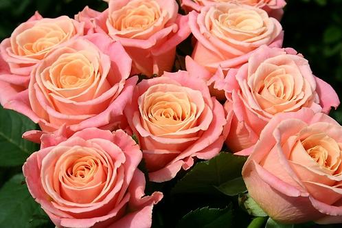 "Роза ""Мисс Пигги""  (упаковка - 20 шт) - 60 см"