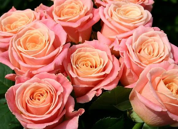 "Роза ""Мисс Пигги""  (упаковка - 20 шт) - 50 см"