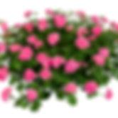 pac_Pink_Sybil_10116_01_b.jpg