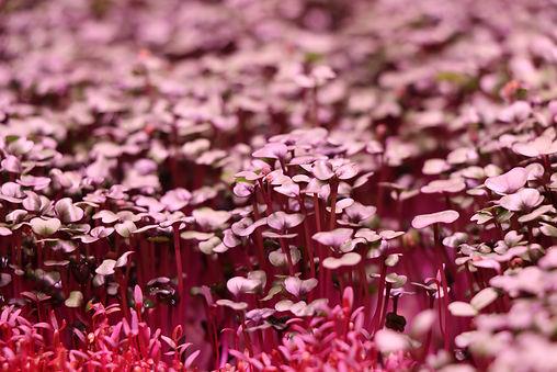 Microgroenten: Rode kool & Rode Amaranth