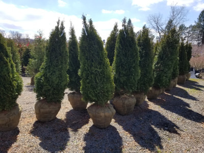 Arborvitaes ready to sell in late March! They will be hard to locate in the summer months.