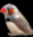 transparent-Zebra-Finch.png