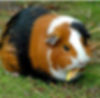 guinea_pig_1-759711.jpg