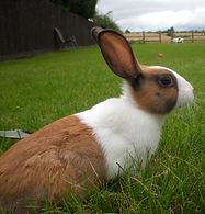 dutch-rabbits--50a3cdb3_e3e75f30.jpg