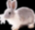 gray-and-white-rabbit-11528205747dfhxctk