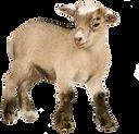 canva-young-pygmy-goat-MAASsSVDBgY.png