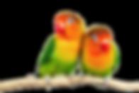 Love-Birds-Transparent-Background.png