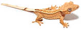 crested-gecko2_edited.png