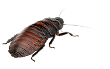 Hissing-cockroach-4.png