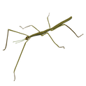 201412_stick_insect.png