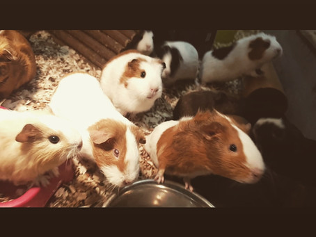 fantastic Guinea pig family