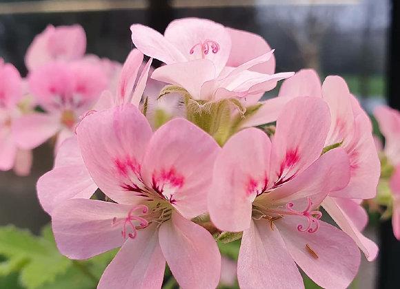 Pelargonium 'Sweet Mimosa'  (Sweet scent)