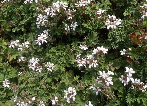Pelargonium 'Cinnamon'  (Cinnamon Scented)