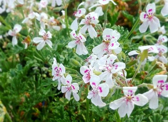 Pelargonium 'Southernwood'