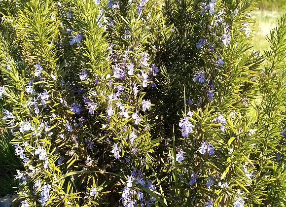 Rosemary 'Tuscan Blue'