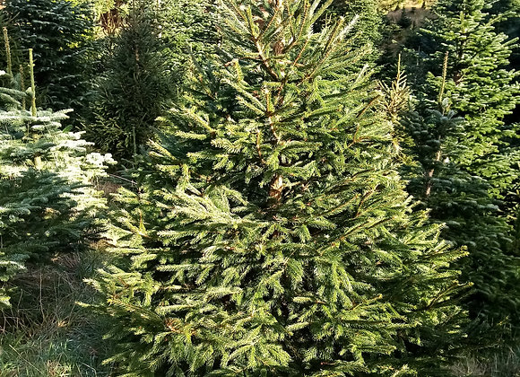 XMAS Tree 'Norway Spruce'